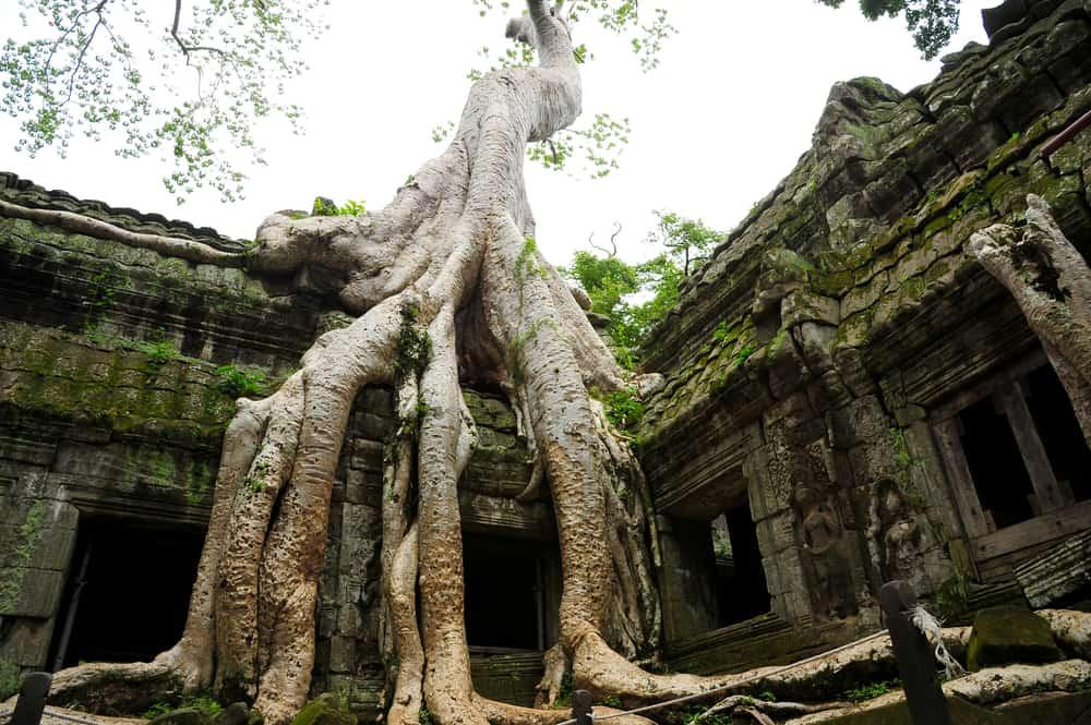 Strom rostoucí na ruinách chrámu Preah Khan