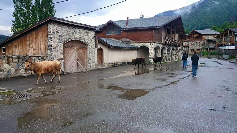 Krávy chodí svobodně úplně všude